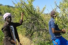 Sklizeň oliv s uprchlíky na Sicílii